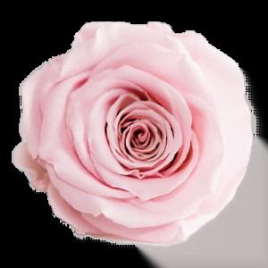 Pink Rose | Millionbox.se